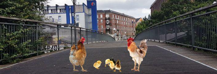 Høns på Hønsebroen Valby